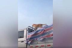 狗子都飘起来了!货车司机将狗拴车棚飞速行驶!