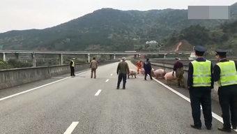 载64头生猪大货车高速路失控侧翻 二师兄们遭殃了