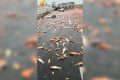 小貨車撞上圍欄翻車 萬條錦鯉命喪高速